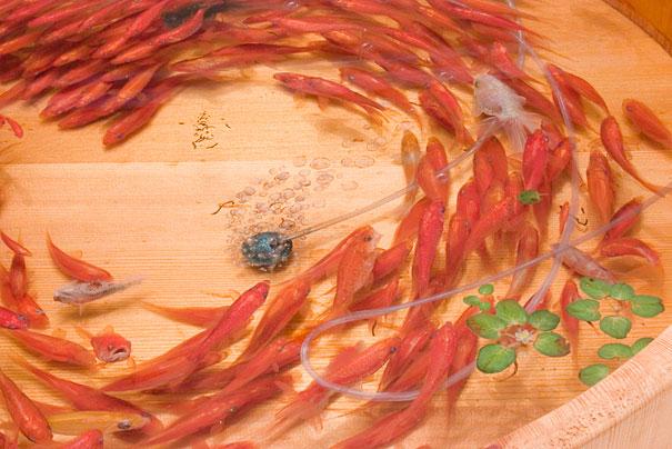 لوحات ثلاثية الأبعاد للسمك الذهبي 3D-goldfish-painting