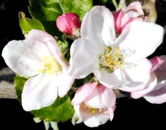 Imagen de flores abiertas y semi abiertas de color blanco