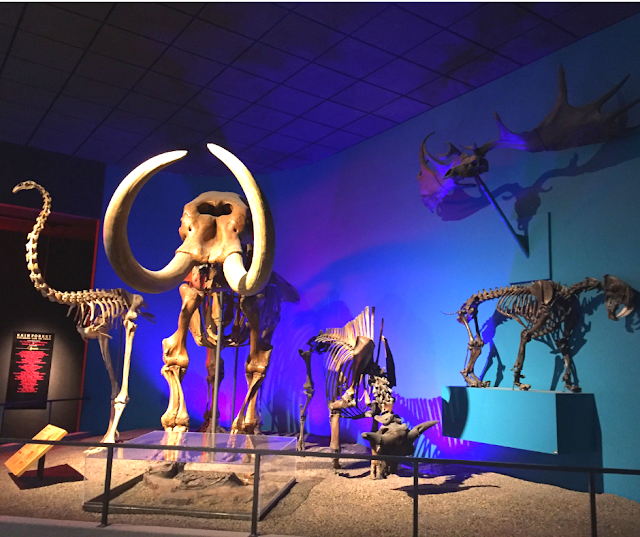 A collection of Ice Age skeletons. at the Milwaukee Public Museum was excavated in Kenosha County.