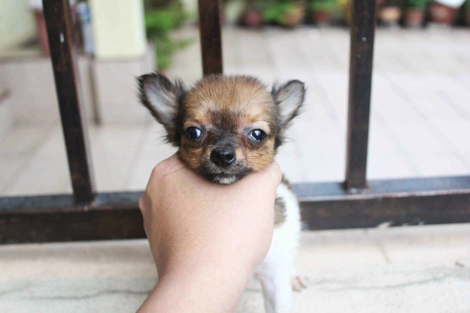 LovelyPuppy Female Dark BrownWhite Long Coat ChiHuaHua