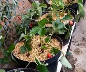 image Plant & Grow Strawberry from Fruit