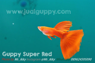 Jual Guppy Tegal,  Harga Guppy Tegal,  Toko Guppy Tegal,  Diskon Guppy Tegal,  Beli Guppy Tegal,  Review Guppy Tegal,  Promo Guppy Tegal,  Spesifikasi Guppy Tegal,  Guppy Tegal Murah,  Guppy Tegal Asli,  Guppy Tegal Original,  Guppy Tegal Jakarta,  Jenis Guppy Tegal,  Budidaya Guppy Tegal,  Peternak Guppy Tegal,  Cara Merawat Guppy Tegal,  Tips Merawat Guppy Tegal,  Bagaimana cara merawat Guppy Tegal,  Bagaimana mengobati Guppy Tegal,  Ciri-Ciri Hamil Guppy Tegal,  Kandang Guppy Tegal,  Ternak Guppy Tegal,  Makanan Guppy Tegal,  Guppy Tegal Termahal,  Adopsi Guppy Tegal,  Jual Cepat Guppy Tegal,  Kreatif Guppy Tegal,  Desain Guppy Tegal,  Order Guppy Tegal,  Kado Guppy Tegal,  Cara Buat Guppy Tegal,  Pesan Guppy Tegal,  Wisuda Guppy Tegal,  Ultah Guppy Tegal,  Nikah Guppy Tegal,  Wedding Guppy Tegal,  Flanel Guppy Tegal,  Special Guppy Tegal,  Suprise Guppy Tegal,  Anniversary Guppy Tegal,  Moment Guppy Tegal,  Istimewa  Guppy Tegal,  Kasih Sayang  Guppy Tegal,  Valentine  Guppy Tegal,  Tersayang Guppy Tegal,  Unik Guppy Tegal,