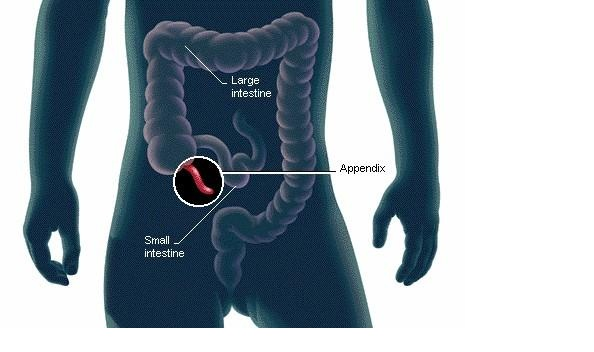 Scientists Finally Discover The Function of the Human Appendix