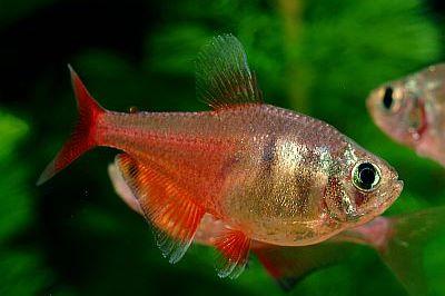 La nouvelle aquariophilie le t tra rouge de rio for Bac communautaire poisson rouge