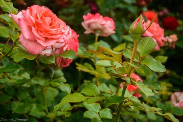 Розы у Храма Христа Спасителя фото