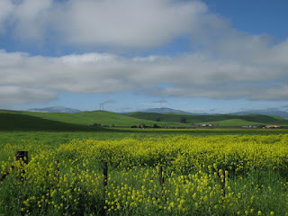 Field of yellow flowers with distant green hills and puffy clouds, San Benito County, California