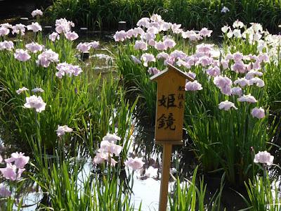 山田池公園・花しょうぶ園  肥後系 姫鏡