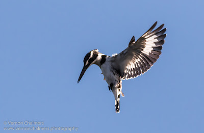 Pied Kingfisher in Flight : Woodbridge Island, Cape Town