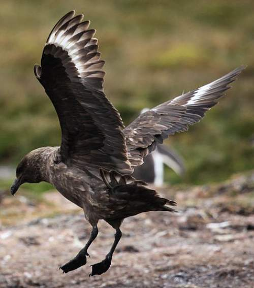 Indian birds - Image of Brown skua - Catharacta antarctica