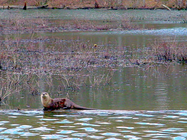 Muscatatuck National Wildlife Refuge - River Otters