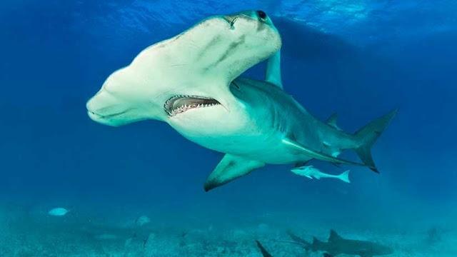 Científicos descubren el primer tiburón omnívoro