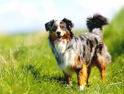 Aussie Shepherd Dog Breed Personality