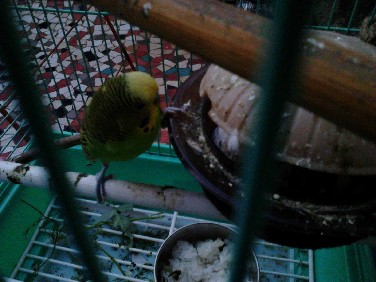 Love Birds Pets Behaviour Guide Bathing Feeding Travelling
