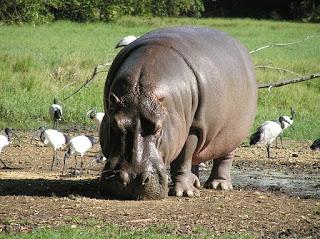 29 Informasi & Fakta Menarik Tentang Kuda Nil, Mamalia dari Keluarga Hippopotamidae