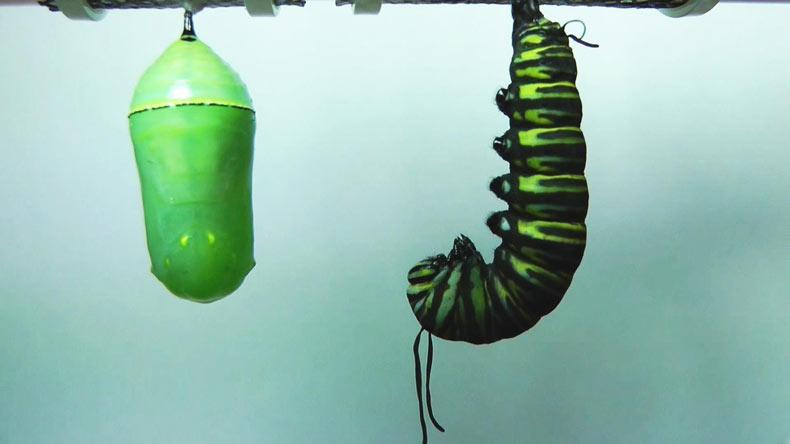 Timelapse en HD de una hermosa metamorfosis de una mariposa monarca