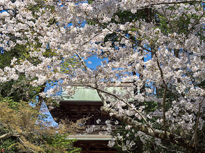 Cherry blossoms: Engaku-ji