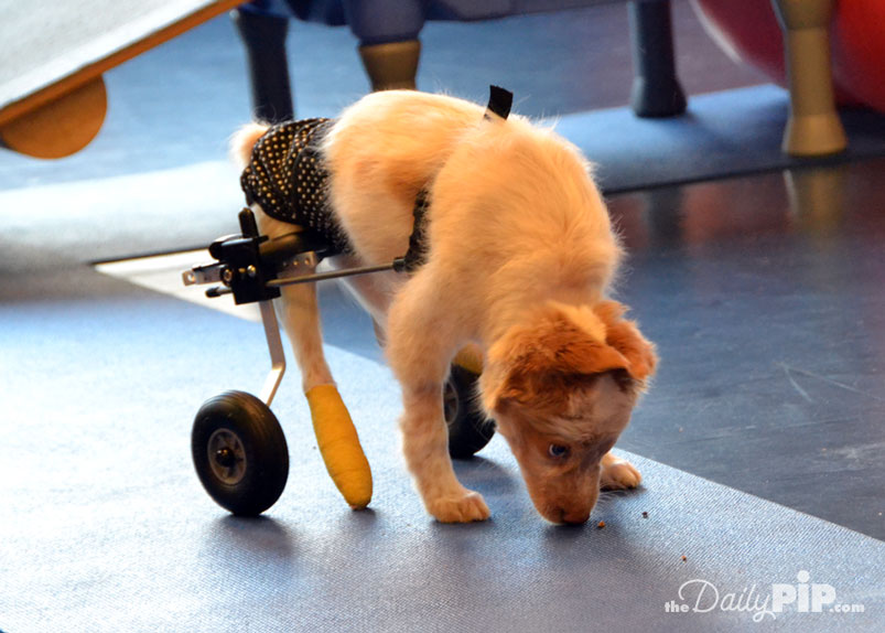 LaCroix, a puppy born with spina bifida, lived life to the fullest