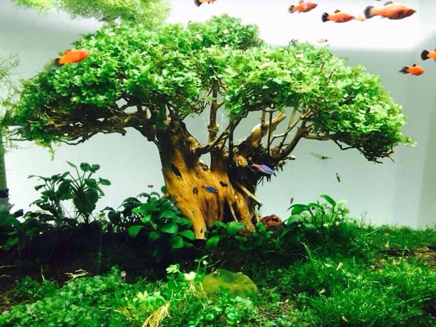 Hồ thủy sinh bon sai cấy rêu pelia