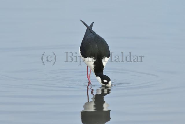 A Hwaian Stilit digging underwater