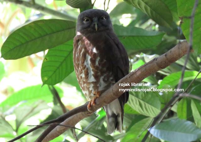 Brown Hawk Owl in Hindhede Park