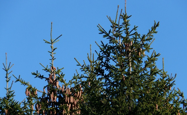Abeto rojo Picea abies