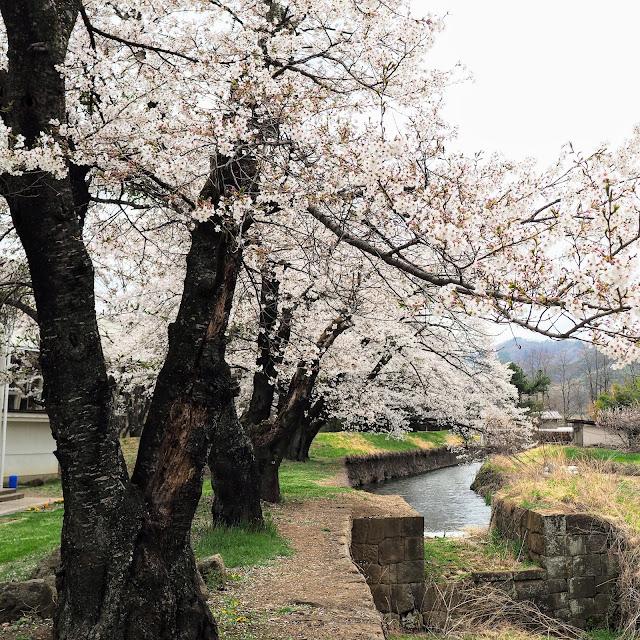 龍岡城五稜郭 桜