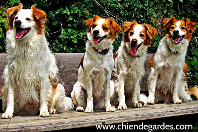 kromfohrlander chien de garde