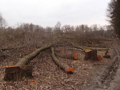 wycinka drzew w Lasku Borkowskim