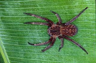 Mengobati Disfungsi Ereksi Dengan Racun Laba-Laba Brasil, racun laba-laba mengobati disfungsi ereksi | caraka, Racun Laba-Laba Bisa Obati Penderita Disfungsi Ereksi