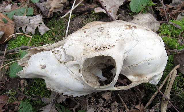 Skull of a Roe Deer, Capreolus capreolus, which I found in Vavasseur's Wood.  18 February 2012.