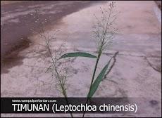 Macam-macam Gulma : GULMA RUMPUT TIMUNAN (Leptochloa chinensis)