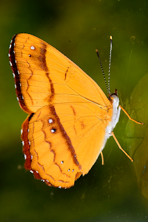 Orange Butterfly in Puriscal