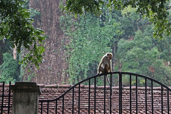 Affe am Zahntempel Kandy
