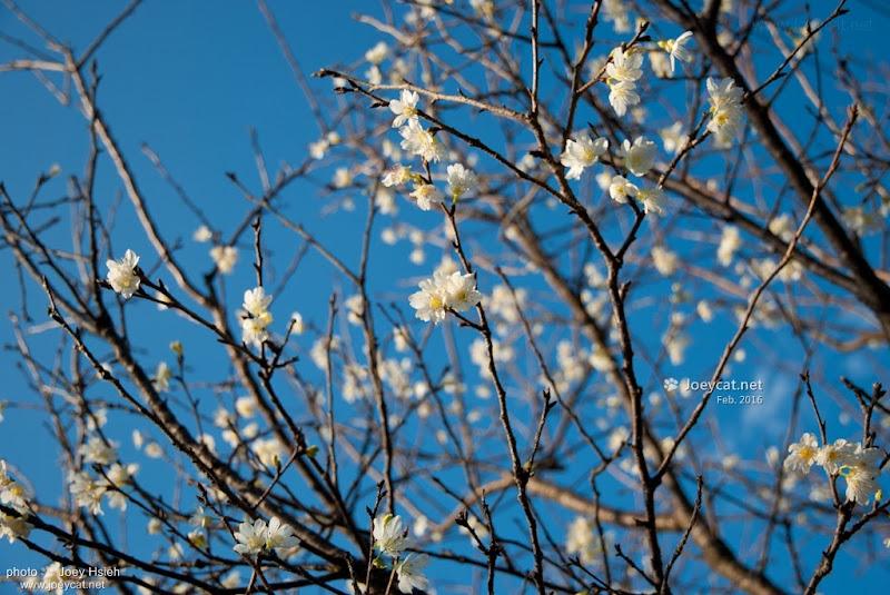 員農種苗芬園花卉生產休憩園區 吉野櫻 櫻花