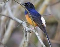 Burung Murai Batu Betina Dewasa