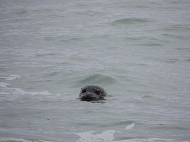 foca nel mare di Vik in Islanda