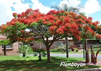 flamboyan | bibit flamboyan | budidaya flamboyan | manfaat flamboyan | bunga flamboyan | menanam flamboyan