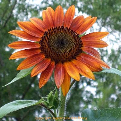 A Majestic Autumn Beauty Sunflower Blossom
