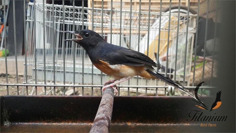 Elektra Indukan Murai Batu Betina Medan Titanium Bird Farm