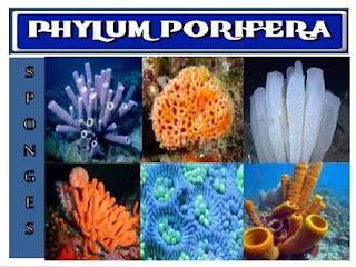 Klasifikasi Porifera Berdasarkan Tipe Saluran Air
