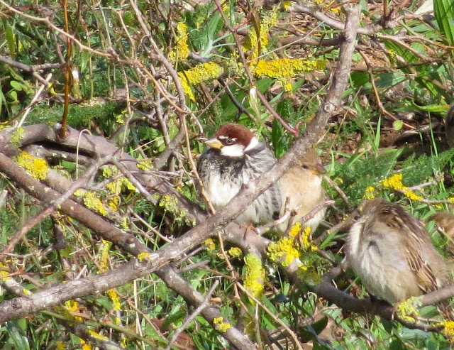 Spanish Sparrow - Portugal
