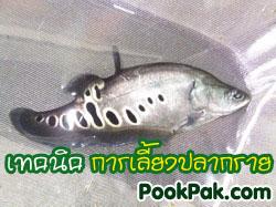 เทคนิควิธีการเพาะพันธุ์ปลากราย