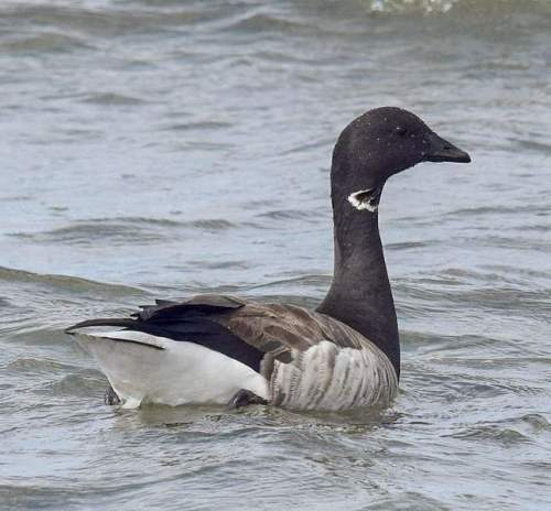 Branta bernicla (pale-bellied)