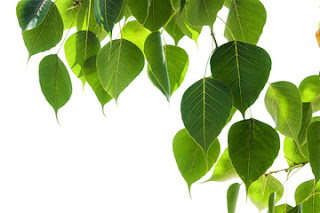 pipal-green-leaves
