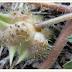 गोखरू ( small caltrap ) ,  नामर्दी , पथरी , हिर्दय रोग , खांसी , रक्त - पित को नष्ट कर देता है ।
