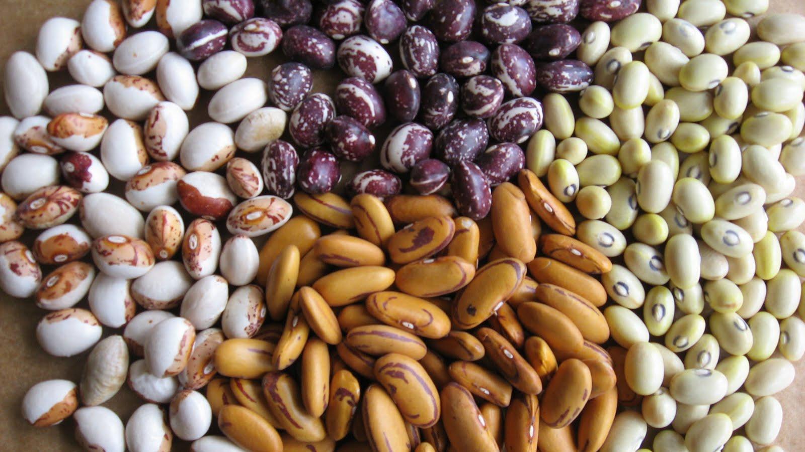 urban artichoke: Heirloom Bean Project: August Update