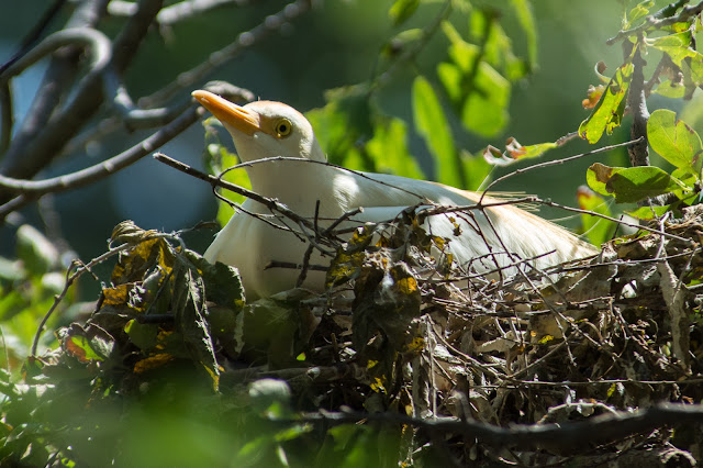 Nesting Cattle Egret, UT Southwestern Medical Center Rookery
