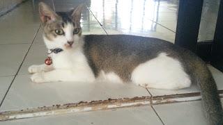 gambar kucing kampung asli indonesia