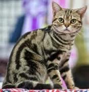 American Shorthair Cat Diet