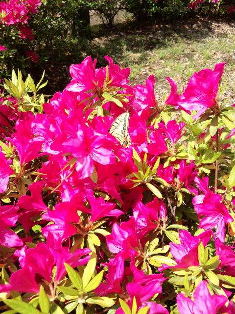 蝶々が、羽根木公園のツツジの花の蜜を吸っている写真です。